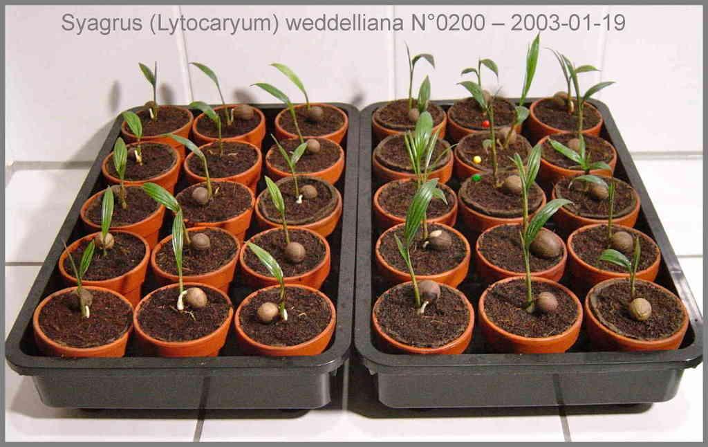 5b4503ac5aebd_20Syagrusweddelliana2003-0