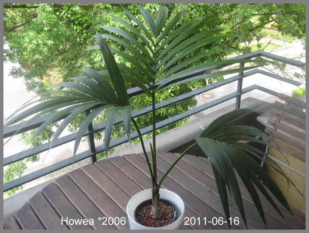 5b476ebf4a08a_Howea2011-06-16IMG_6337.th