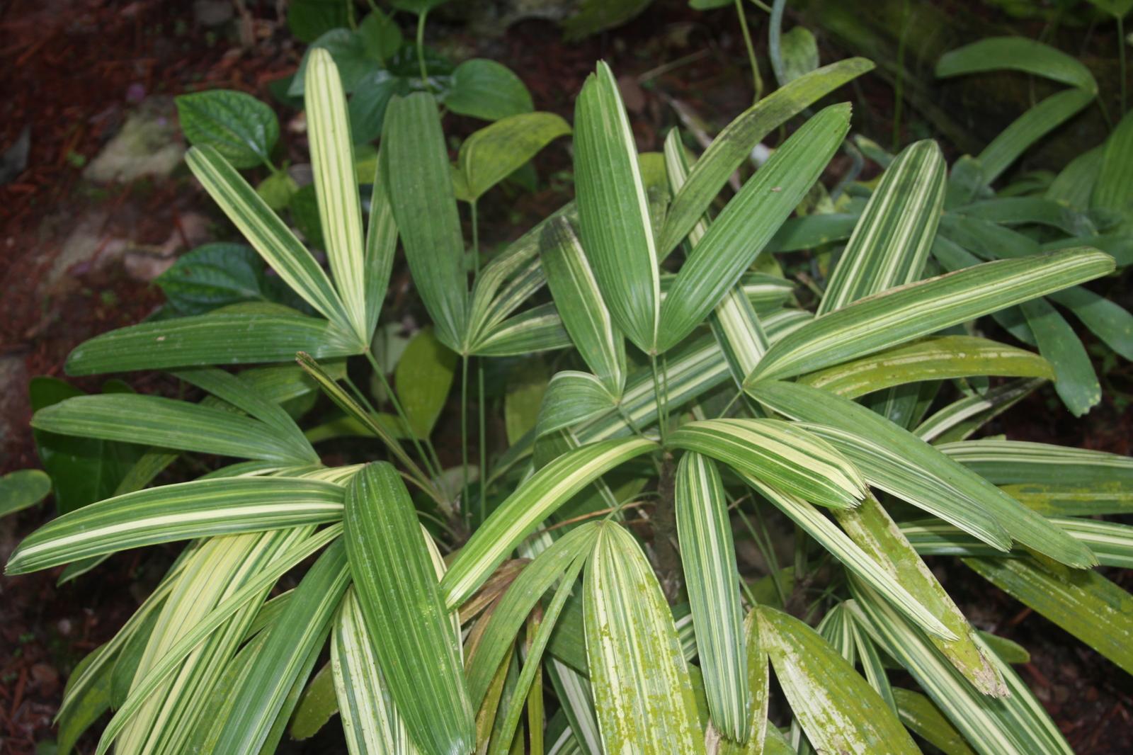 Variegated Rhapis palms