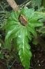 Anthurium cupulispathum