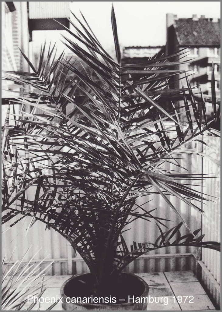 5c1aad273aabf_Phoenixcanariensis1972-11.