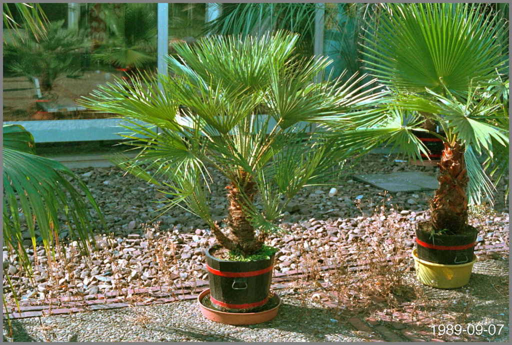 5c367f0232750_ChamaeropsWashingtonia1989