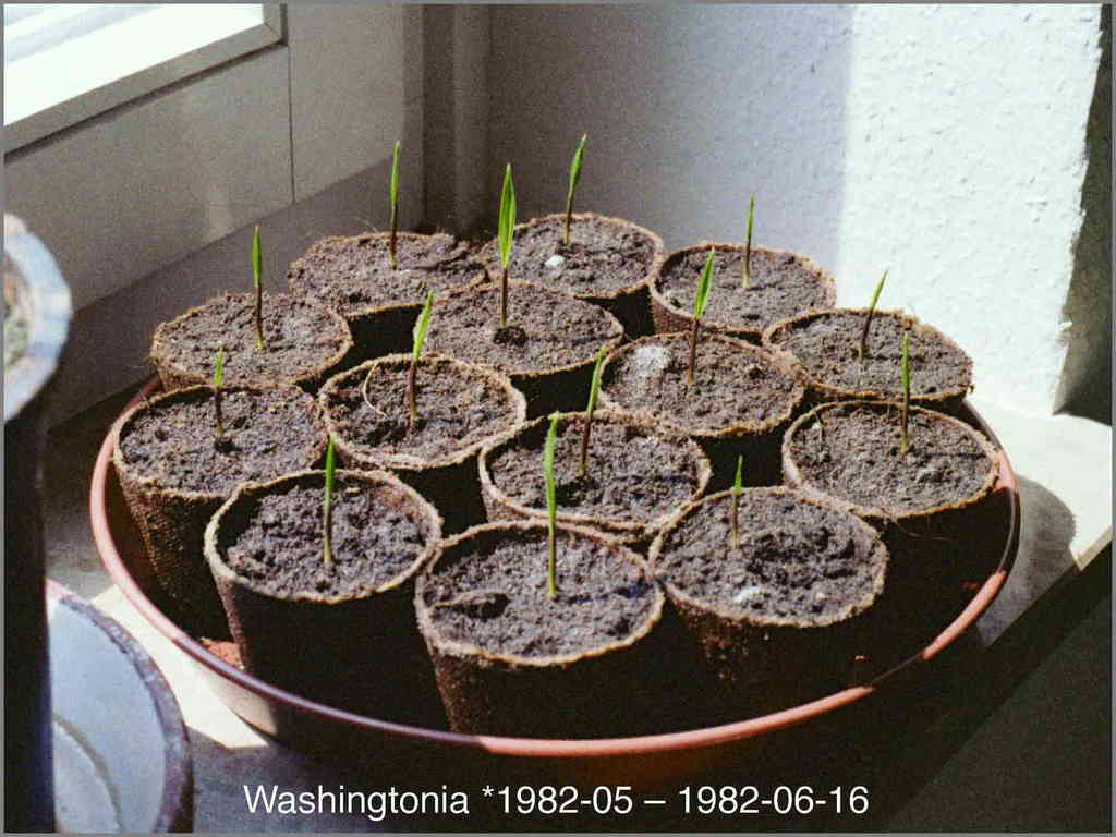 5c368194d43ce_Washingtonia1982-06-16N06-