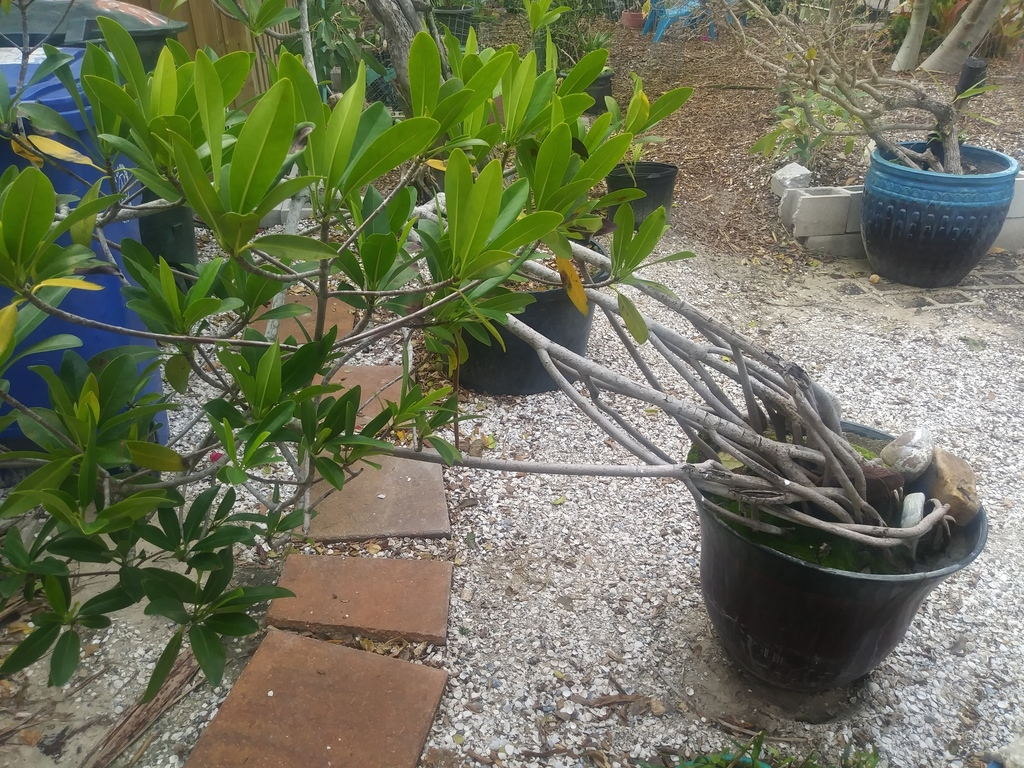 mangrove in pot.jpg