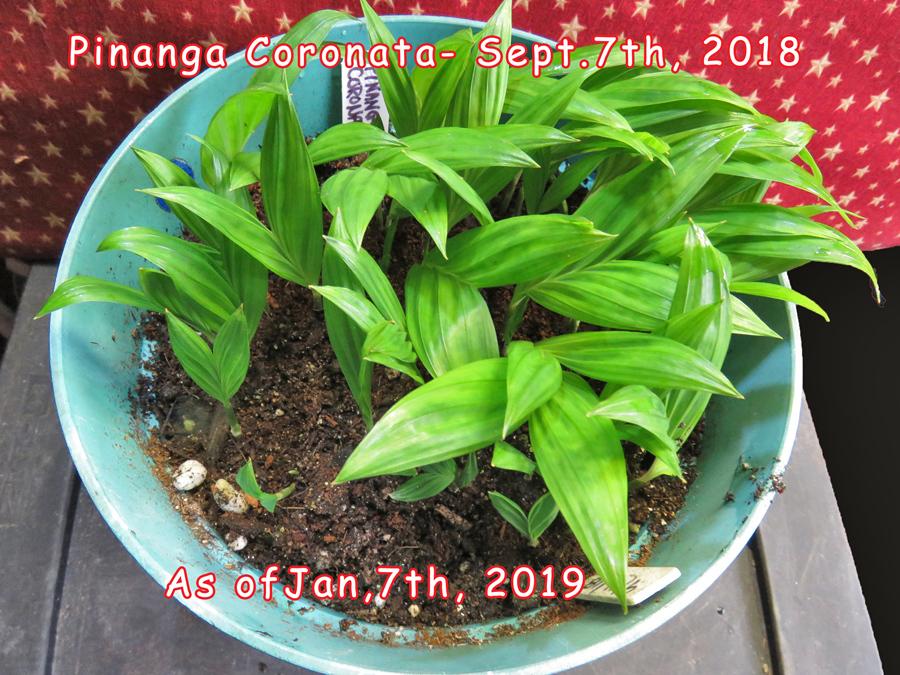 Pinanga Coronata _ small.jpg