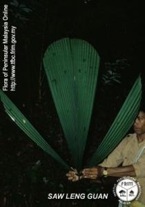 Licuala-thoana---Leaf.jpg