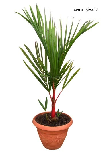 how to look after palms in pots