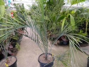 Ravenea xerophylla 15g (6).JPG