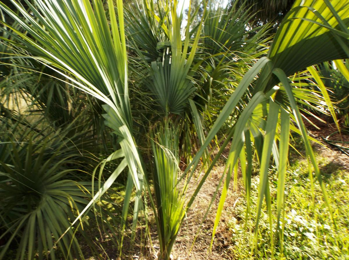 Cabbage Palm Sabal Palmetto  Eat The Weeds and other