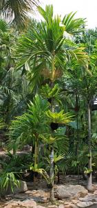Areca catechu yellow_7309 NN.JPG