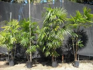 Rhapis humilis 5 gal plants 4, 6, 7, and 8 reduced image size.jpg