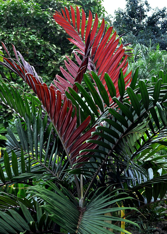 Three New Red Leaves On Chambeyronia Macrocarpa