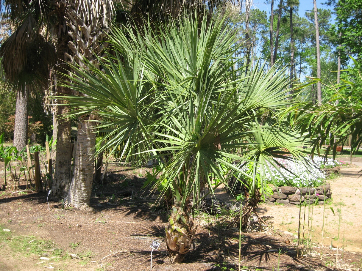Indeed Sarasota Fl >> Sabal ID needed..... - DISCUSSING PALM TREES WORLDWIDE - PalmTalk