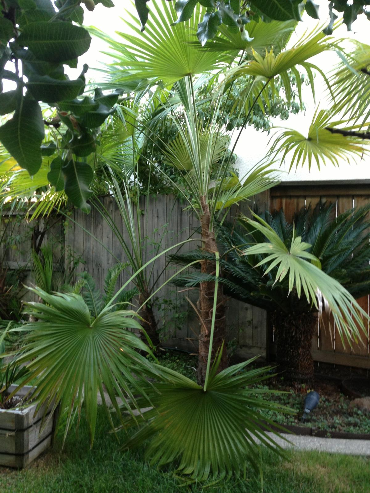 What Will I Look Like When I Grow Up >> Trachycarpus latisectus - DISCUSSING PALM TREES WORLDWIDE - PalmTalk