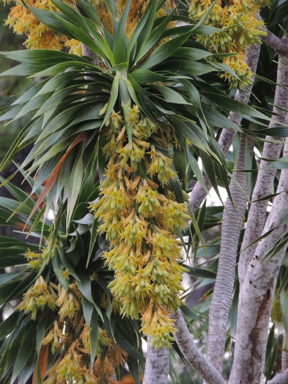 Dracaena Rockii Tropical Looking Plants Other Than