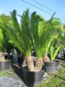 Dioon spinulosum DB 45gal.JPG