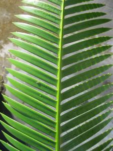 Dioon mejiae leaf detail.JPG