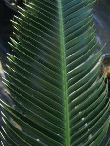 Dioon merolae leaf detail.JPG