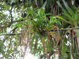 bromeliads growing on wire.JPG