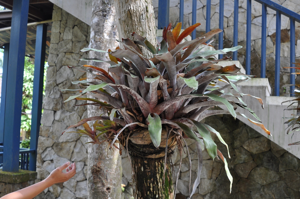Attaching Bromelaids To Tree Trunks Tropical Looking