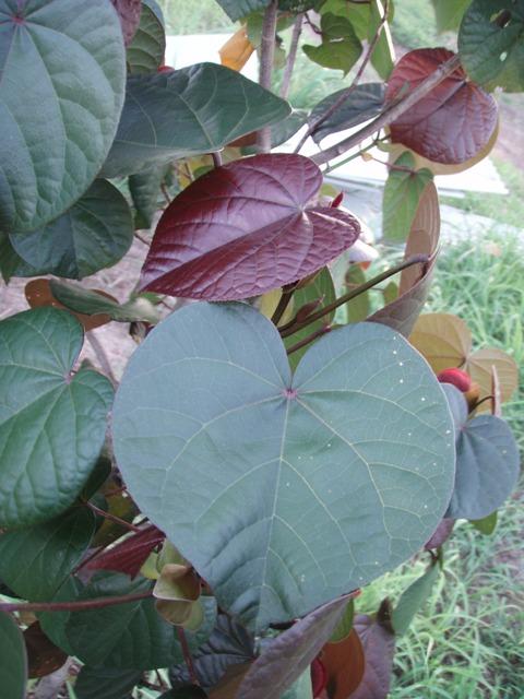 Hibiscus Tiliaceus Tricolor Tropical Looking Plants