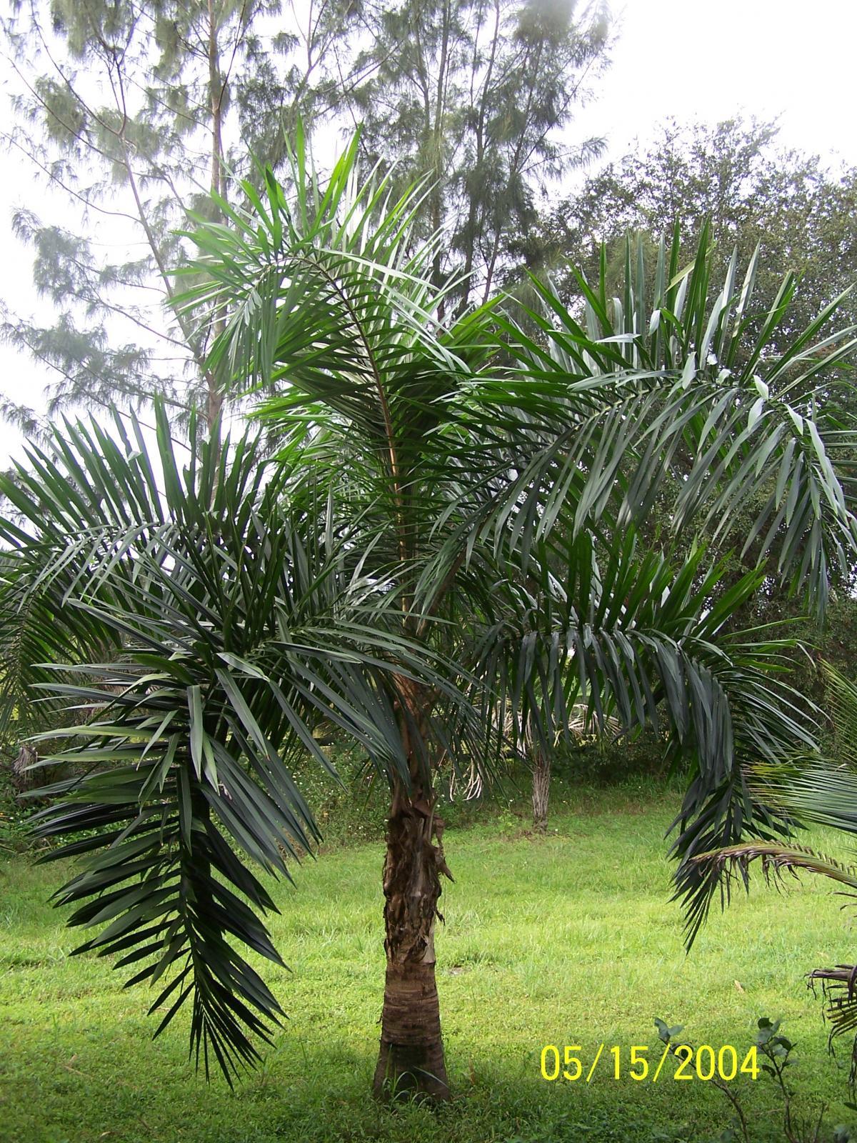 Colombian Foxtail Syagrus Sancona Discussing Palm
