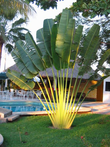 Travellers Palm Tree - RAVENALA MADAGASCARIENSIS - 7 Seeds ...
