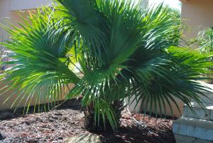 Chinese Fan Palm (Levistonia Chinensis).jpg