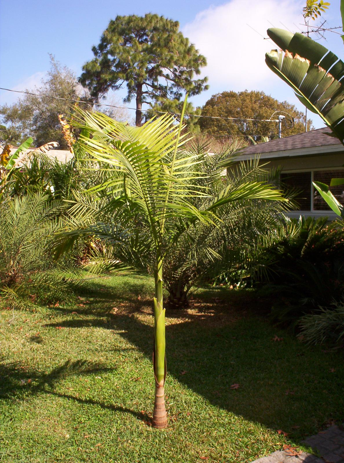 King Palm Hardiness Discussing Palm Trees Worldwide