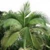 Chambeyronia macrocarpa - last post by enigma99