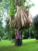 Foxy Lady Palm Miracle - last post by Oliver K.