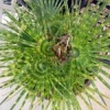 Huge 25g Variegated Giant Bird of Paradise - last post by SurfCityPalms