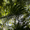 Sun hardened Caryota ochlandra, SEQ Australia - last post by Eric F