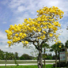 Jacaranda caucana for sale (15 Gallon) - last post by brachychiton_lover