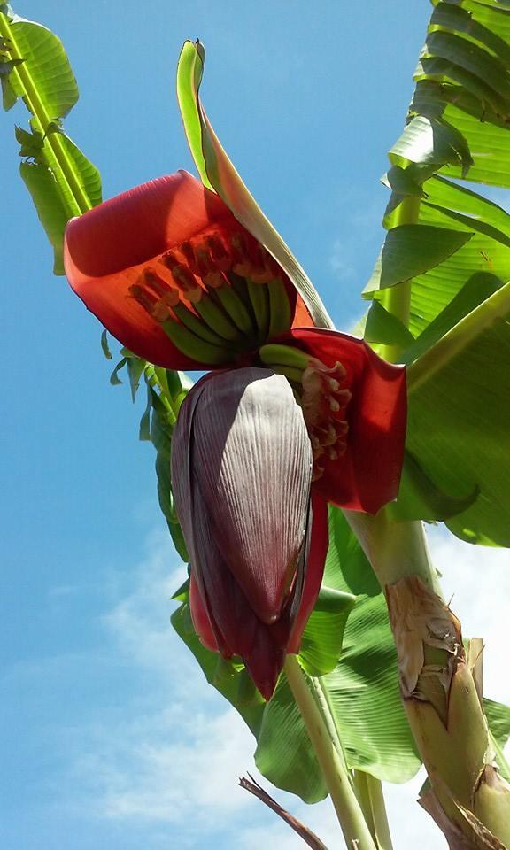 Banana Fairfield 2015