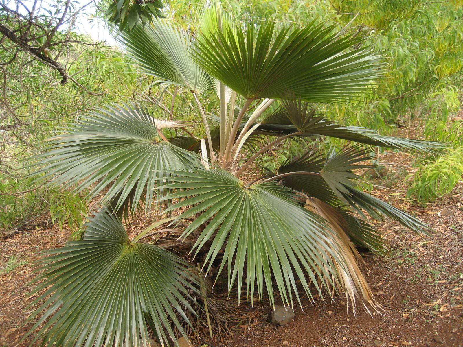 Pritchardia minor: nicest at National Tropical Botanical Garden, McBryde Garden, Lawai, Kaua'i