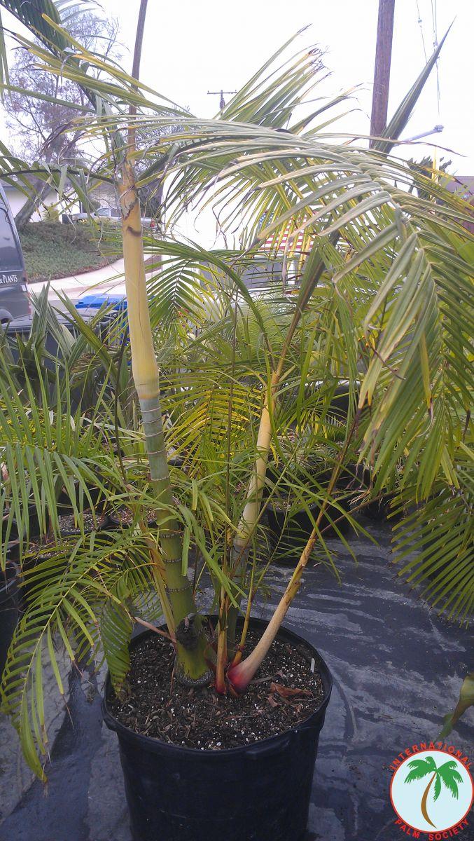 Tropical Migration Palms