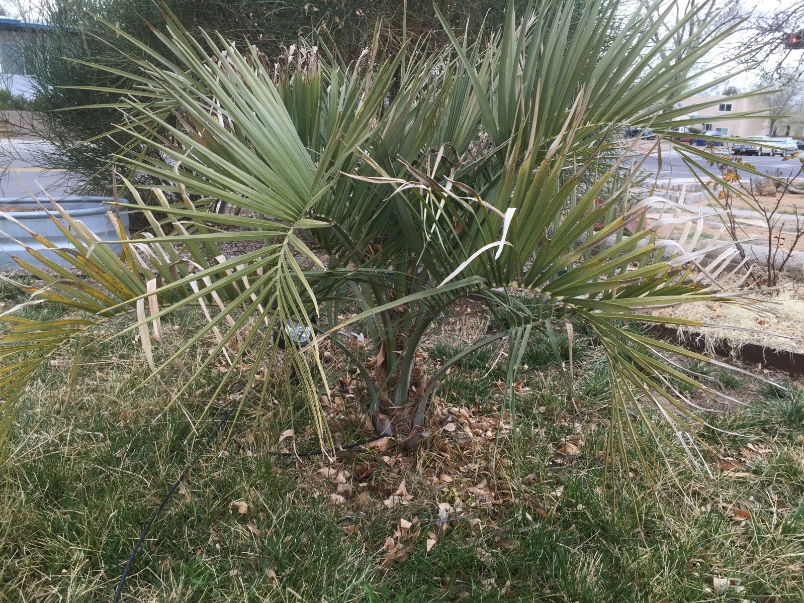 Butia C. with very little damage from winter 2/15/15