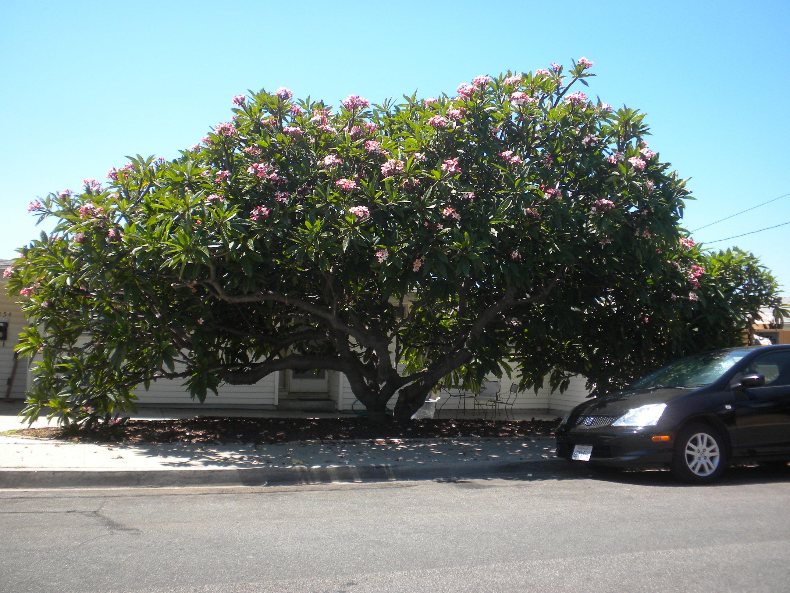 Large Plumeria Tree In San Diego Tropical Looking Plants