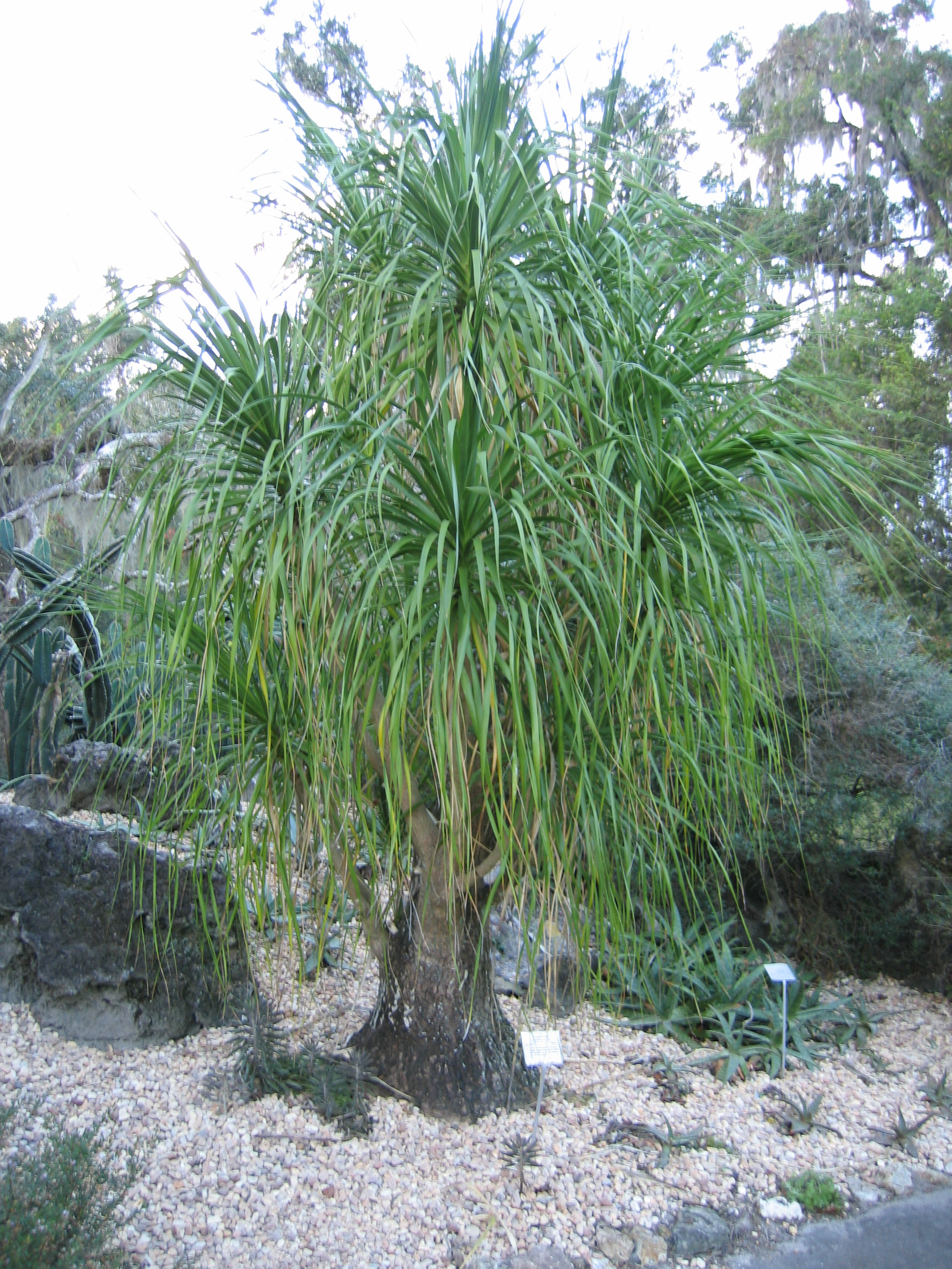 post-526-1224604440 Ponytail Palm House Plant on elephant bush house plant, tall upright indoor plant, canary island date palm house plant, variegated ivy house plant, royal palm house plant, kentia palm house plant, king palm house plant, cast iron plant house plant, zinnia house plant, sage house plant, peach house plant, ponytail plant problems, ponytail plant care tips, ponytail bottle plant, bromeliads house plant, windmill palm house plant, periwinkle house plant, morning glory house plant, dracaena house plant, ponytail plant care indoor plants,