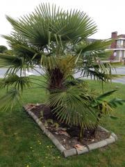 Trachycarpus Nanital