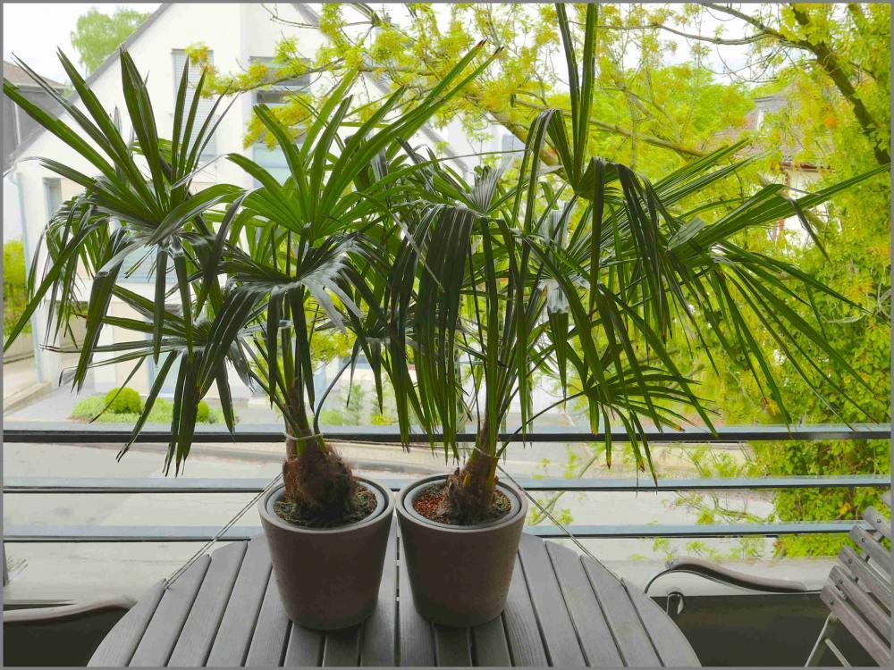 Trachycarpus_fortunei_2015-05-04.thumb.j