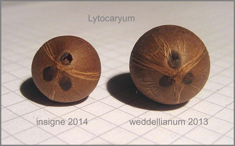 03_Lytocaryum_Seeds_IMG_8238.thumb.jpg.0