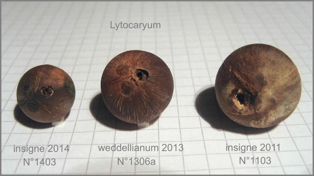 04_Lytocaryum_Seeds_IMG_8246.thumb.jpg.0