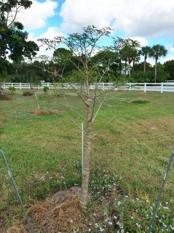 BaobabFony.thumb.jpg.d6da15ed0ee01e8ad70