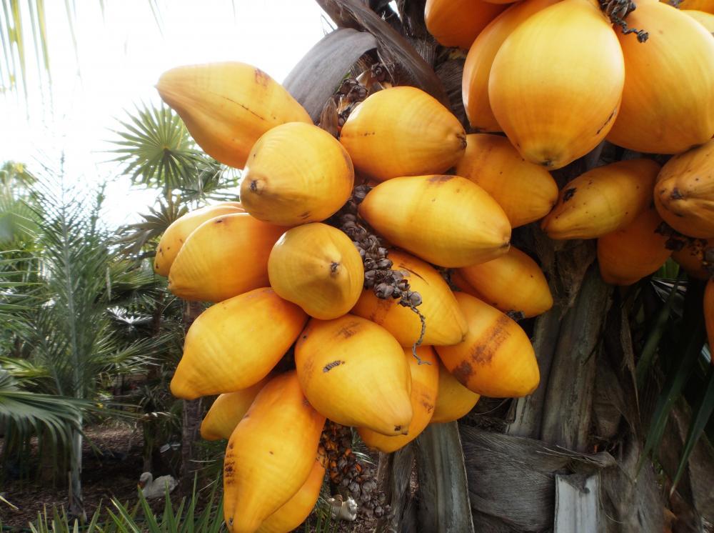 Cocos_nucifera_dwarf_red_spicata_crop_02