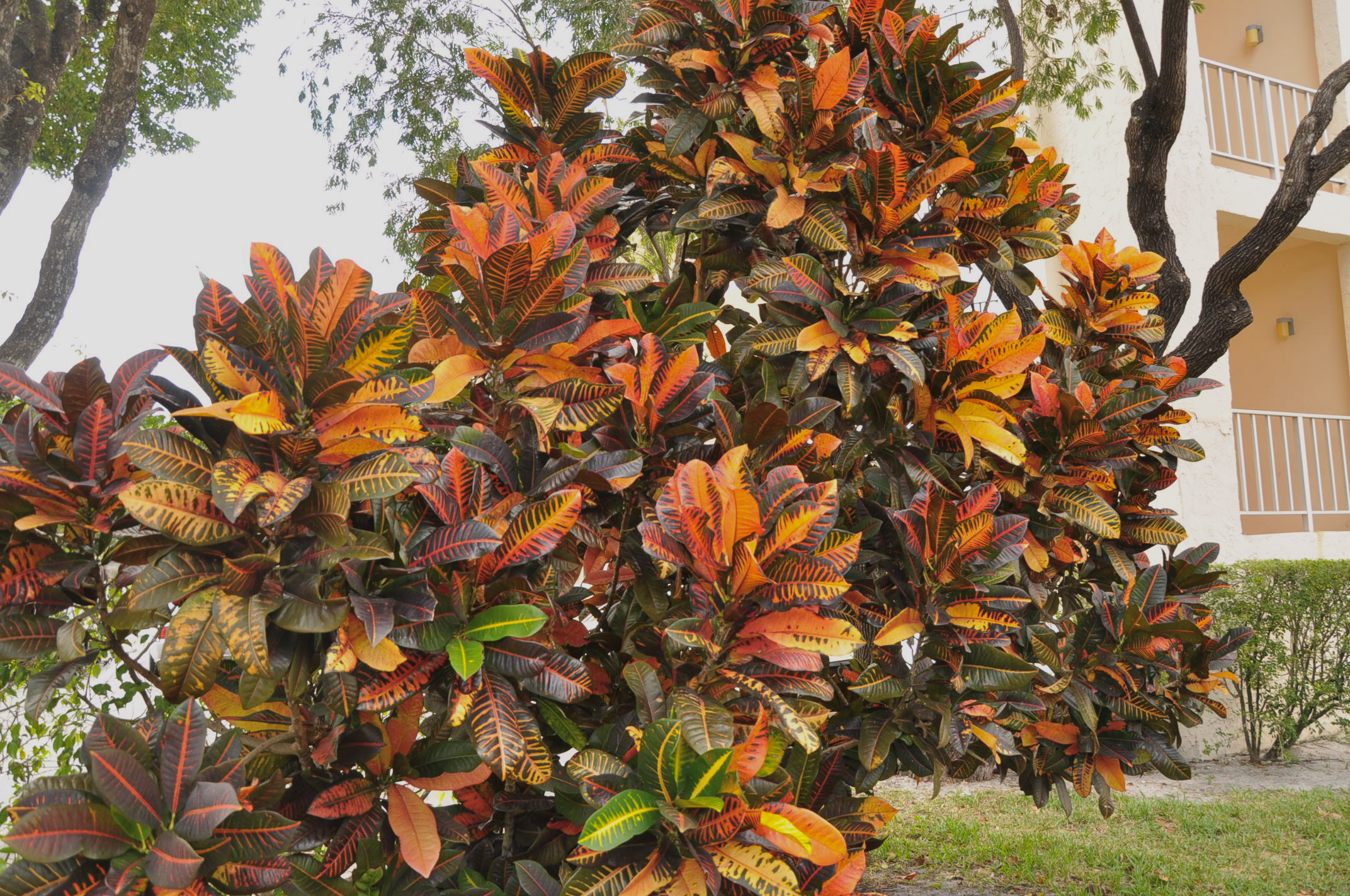 Bring on the Monster Croton - TROPICAL LOOKING PLANTS - Other Than
