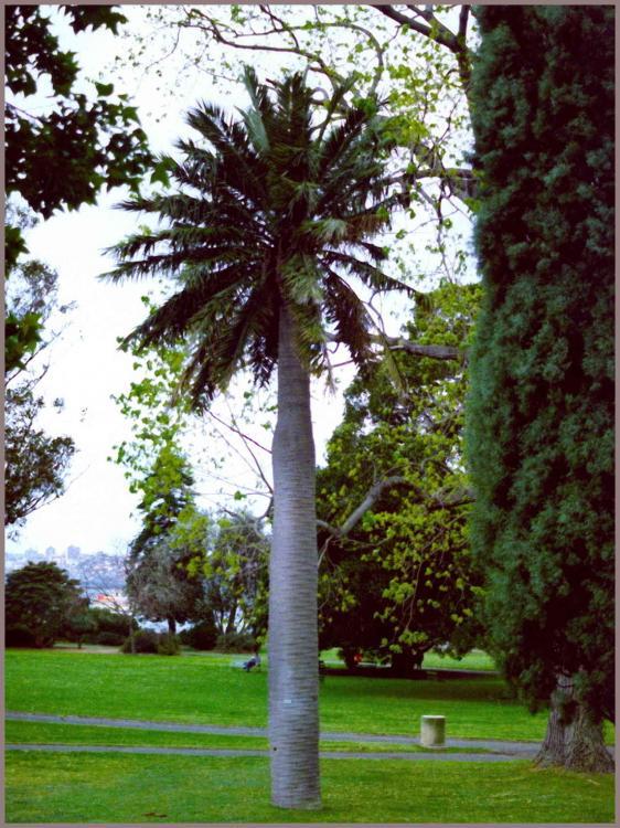 Jubaea_Sydney_1979-09-23.thumb.jpg.b3609