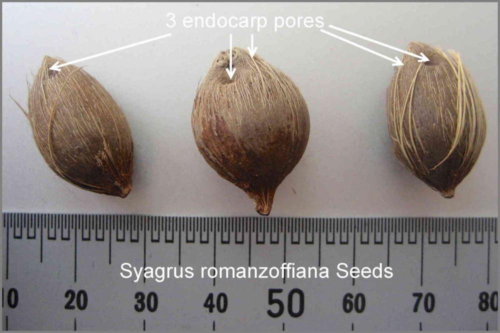 566c5c02bf790_SyagrusromanzoffianaSeeds.