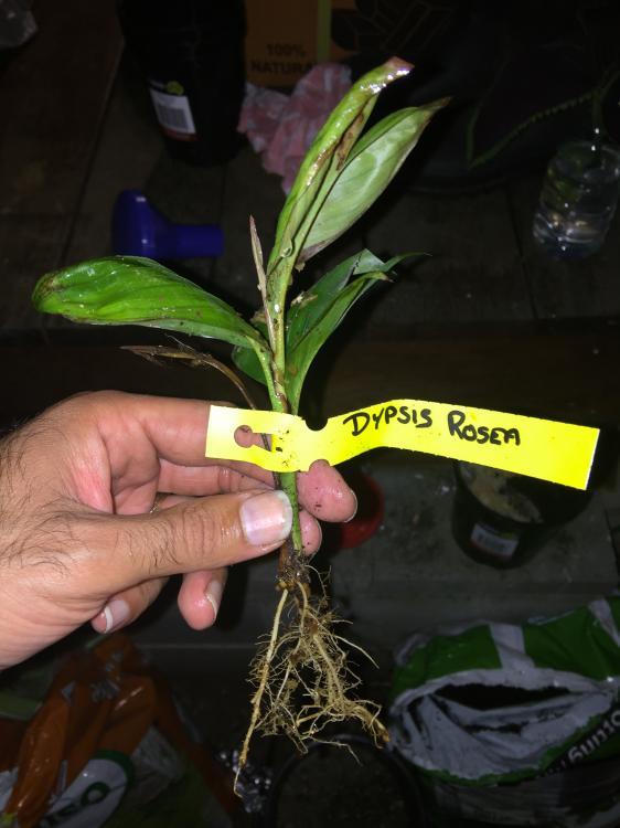 Dypsis rosea 1.JPG